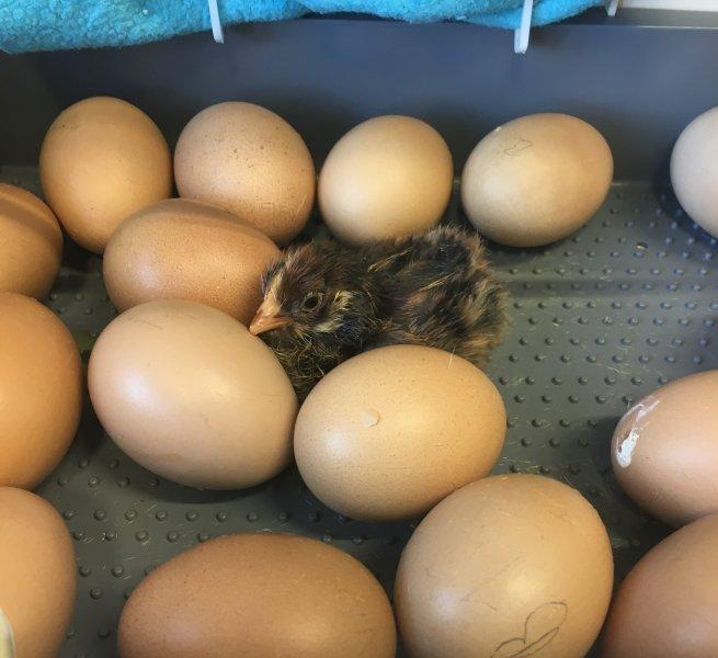 20180606 Vom Ei zum Huhn_0008